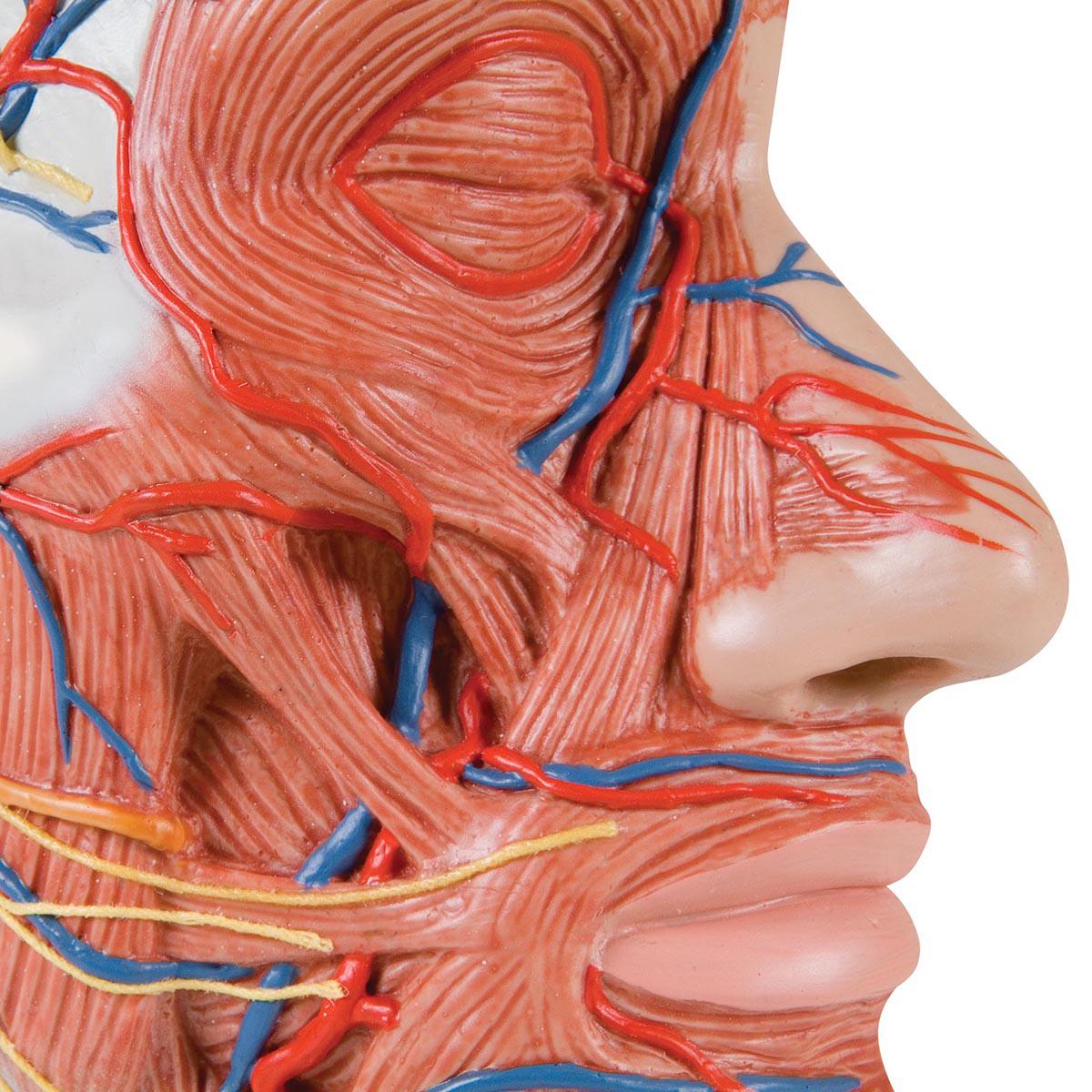 Anatomical Teaching Models Plastic Anatomy Models Half Head With