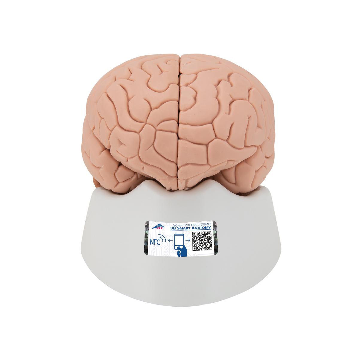Anatomical Teaching Models - Plastic Human Brain Models - 4-Part ...