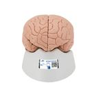 Human Brain Model, 4 part - 3B Smart Anatomy, 1000224 [C16], Brain Models