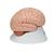 Human Brain Model, 8 part - 3B Smart Anatomy, 1000225 [C17], Brain Models (Small)