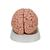 Classic Human Brain Model, 5 part - 3B Smart Anatomy, 1000226 [C18], Brain Models (Small)