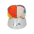 Human Neuro-Anatomical Brain Model, 8 part - 3B Smart Anatomy, 1000228 [C22], Brain Models