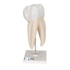 Upper Triple-Root Molar Human Tooth Model, 3 part - 3B Smart Anatomy, 1017580 [D10/5], Dental Models