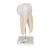 Upper Triple-Root Molar Human Tooth Model, 3 part - 3B Smart Anatomy, 1017580 [D10/5], Dental Models (Small)