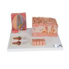 3B MICROanatomy™ Human Tongue Model - 3B Smart Anatomy, 1000247 [D17], Microanatomy Models