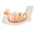 Half Lower Human Jaw Model, 3 times Full-Size, 6 part - 3B Smart Anatomy, 1000249 [D25], Dental Models (Small)