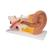 Human Ear Model, 3 times Life-Size, 4 part - 3B Smart Anatomy, 1000250 [E10], Ear Models (Small)