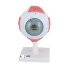 Eye, 5 times full-size, 6 part, 1000255 [F10], Eye Models