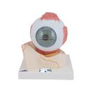Eye, 5 times full-size, 7 part, 1000256 [F11], Eye Models