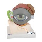 Eye, 5 times full-size, 8 part, 1000257 [F12], Eye Models