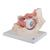 Human Eye Model, 3 times Full-Size, 7 part - 3B Smart Anatomy, 1000258 [F13], Eye Models (Small)