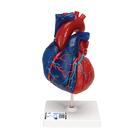Life-Size Human Heart Model, 5 parts - 3B Smart Anatomy, 1010007 [G01/1], Human Heart Models