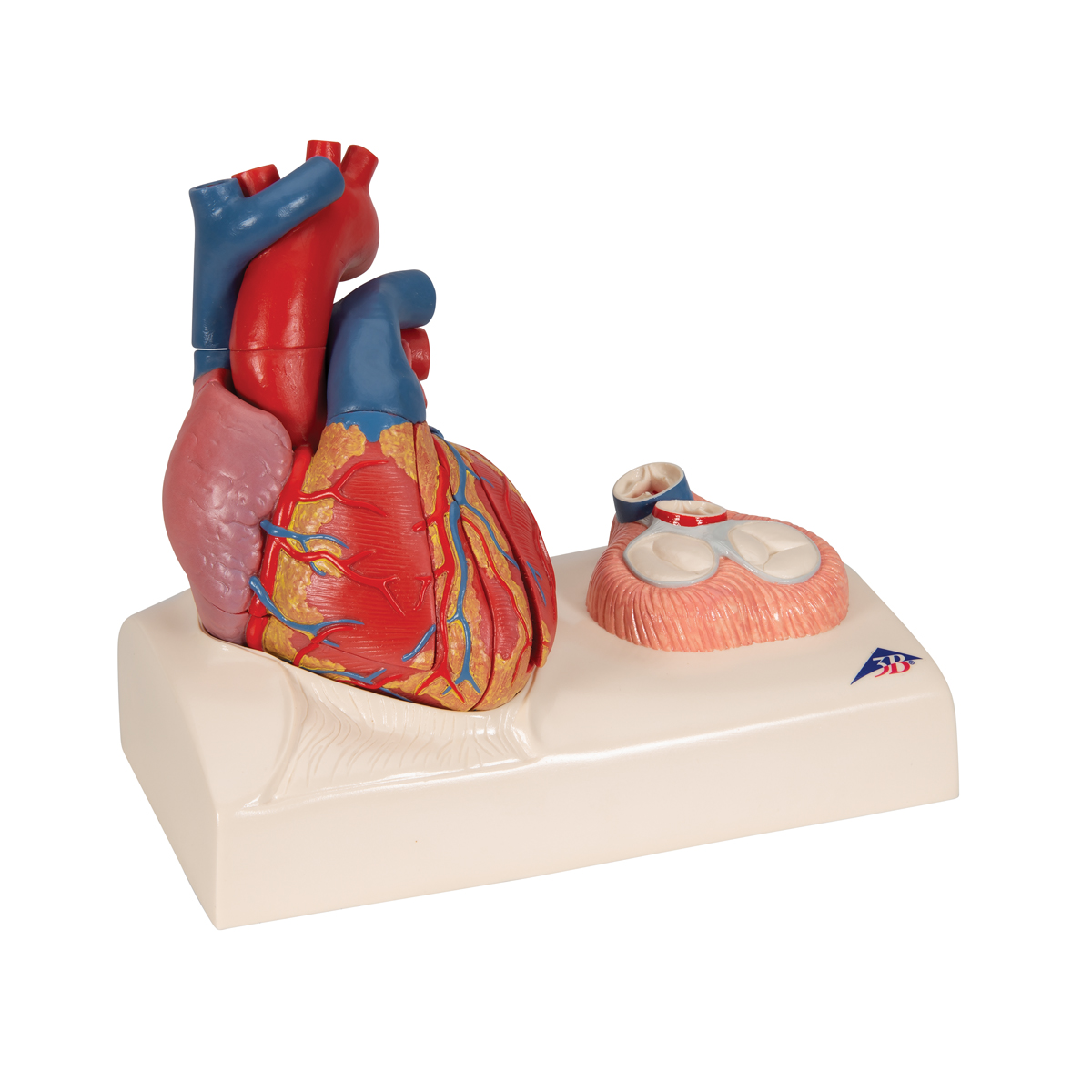 Magnetic Heart model, life-size, 5 parts - 1010006 - 3B ...