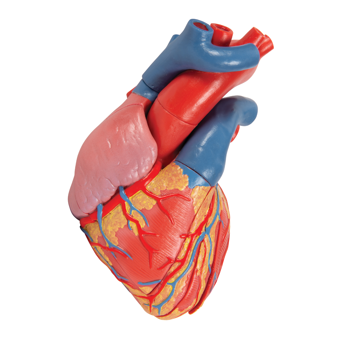 Magnetic Heart Model Life Size 5 Parts 1010006 3b
