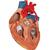 Human Heart Model with Bypass, 2 times Life-Size, 4 part - 3B Smart Anatomy, 1000263 [G06], Human Heart Models (Small)
