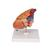 Classic Human Heart Model with Thymus, 3 part - 3B Smart Anatomy, 1000265 [G08/1], Human Heart Models (Small)