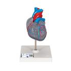 Classic Heart with Conducting System, 2 part,G08/3