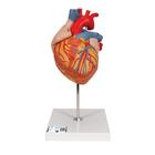 Human Heart Model, 2-times Life-Size, 4 part - 3B Smart Anatomy, 1000268 [G12], Heart Health and Fitness Education