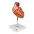 Human Heart Model, 2-times Life-Size, 4 part - 3B Smart Anatomy, 1000268 [G12], Human Heart Models (Small)