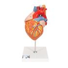 Heart with Esophagus and Trachea, 2 times life size, 5 part, 1000269 [G13], Human Heart Models