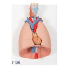 Lung Model with larynx, 7 part,G15