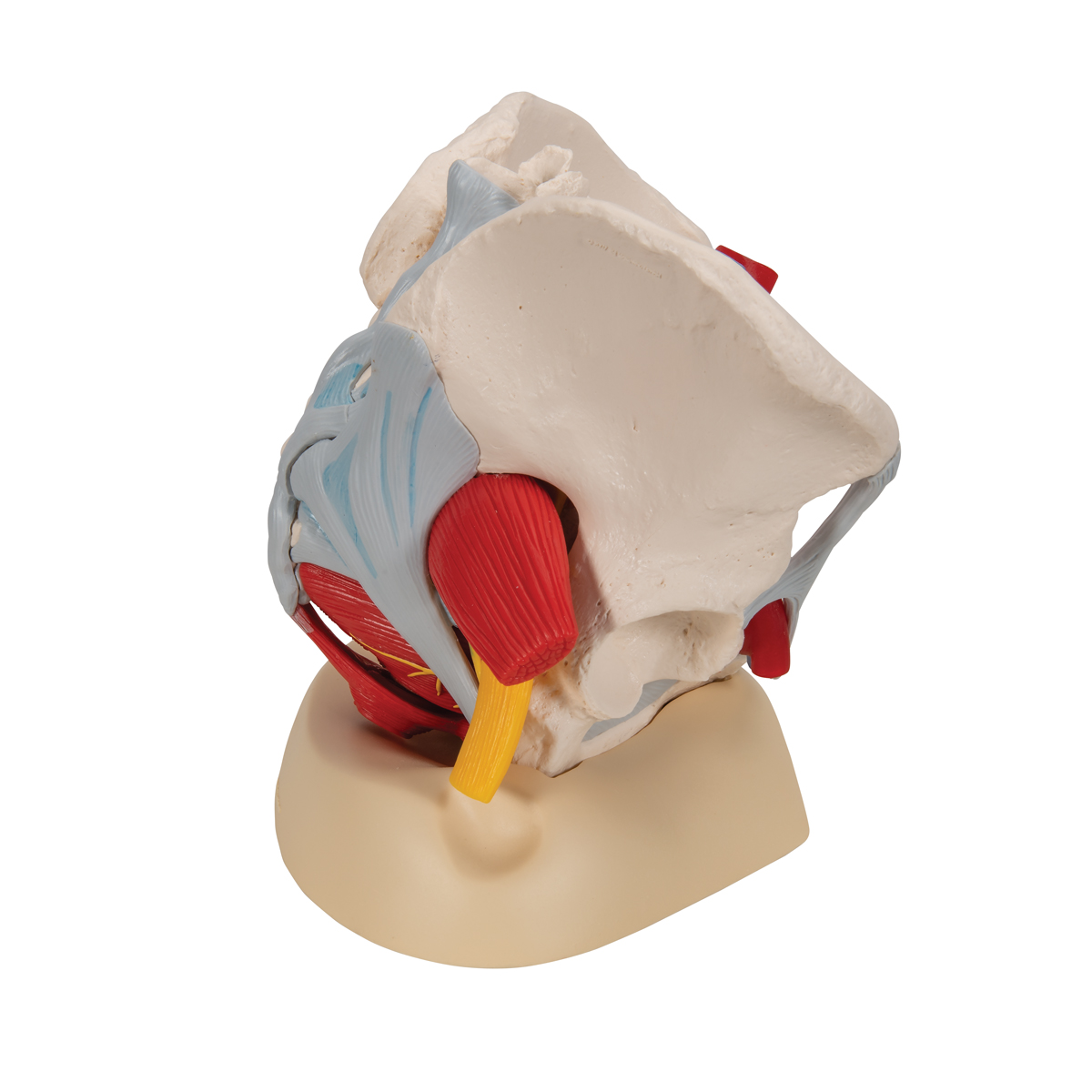 Anatomical Teaching Models Plastic Human Pelvic Models