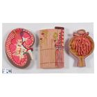 Human Kidney Section Model with Nephrons, Blood Vessels & Renal Corpuscle - 3B Smart Anatomy, 1000299 [K11], Urology Models
