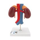 Human Kidneys Model with Vessels - 2 Part - 3B Smart Anatomy, 1000308 [K22/1], Urology Models