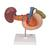 Life-Size Model of Rear Organs of Upper Abdomen - 3B Smart Anatomy, 1000309 [K22/2], Digestive System Models (Small)
