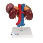 Kidneys with Rear Organs of the Upper Abdomen - 3 Part,K22/3
