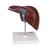 Liver Model with Gall Bladder - 3B Smart Anatomy, 1014209 [K25], Digestive System Models (Small)