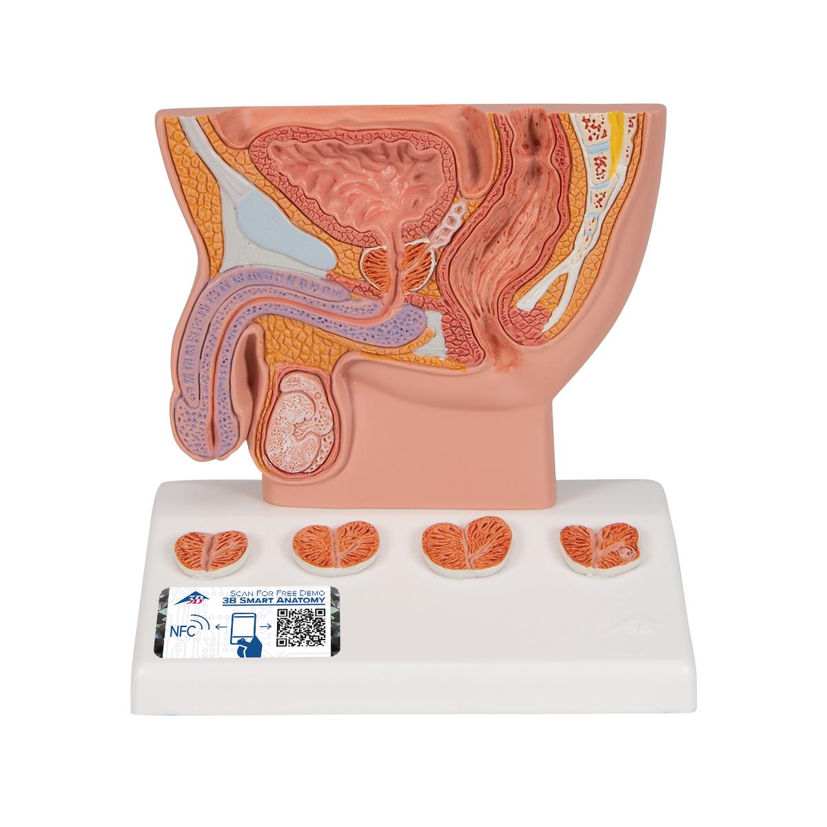 Anatomical Teaching Model Mens Health Education Models Plastic