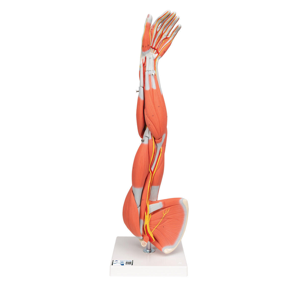 Anatomy Models And Videos Anatomy And Physiology Guide Libguides
