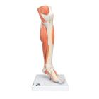 Lower Muscle Leg with detachable Knee, 3 part, Life Size,M22