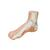Normal Foot Model - 3B Smart Anatomy, 1000354 [M30], Joint Models (Small)