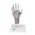 Hand Skeleton Model with Ligaments & Muscles - 3B Smart Anatomy, 1000358 [M33/1], Joint Models (Small)