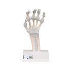Hand skeleton with elastic ligaments, 1013683 [M36], Arm and Hand Skeleton Models