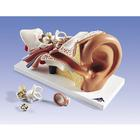 Ear Model, 3 times life size, 4 part,PP-E10
