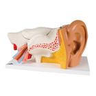 Ear, 3 times life size, 6 part,PP-E11