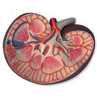 PP-K09: Basic Kidney Section, 3 times full-size