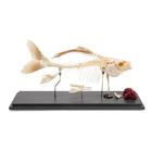 Fish skeleton - Carp (Cyprinus carpio),T30001