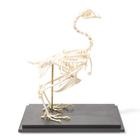 Chicken Skeleton (Gallus gallus domesticus), Rigidly Mounted, Specimen,T30002