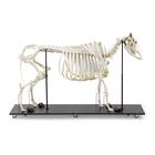 Bovine Cow skeleton (Bos taurus), without horns, articulated, 1020973 [T300121w/o], Farm Animals