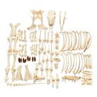 Bovine Cow skeleton (Bos taurus), without horns, disarticulated, 1020975 [T300121w/oU], Farm Animals