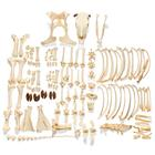Bovine skeleton (Bos taurus), with horns, disarticulated, 1020976 [T300121wU], Osteology