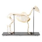 Horse Skeleton (Equus ferus caballus), Male, Specimen, 1021003 [T300141m], Farm Animals