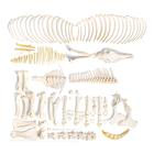 Horse skeleton (Equus ferus caballus), male, disarticulated, 1021005 [T300141mU], Osteology