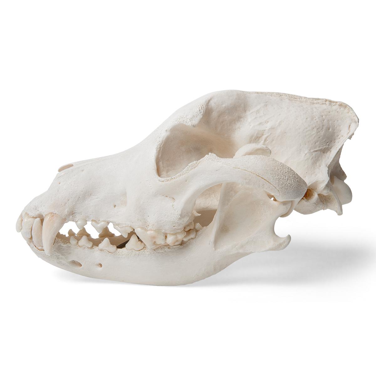 Dog Skull (Canis lupus familiaris), Size M, Specimen - 1020994 ...