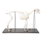 Domestic Sheep Skeleton (Ovis aries), Male, Specimen, 1021025 [T300361m], Farm Animals