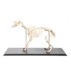 Dog Skeleton (Canis lupus familiaris), Size L, Flexibly Mounted, Specimen, 1020991 [T300401L], Predators (Carnivora)